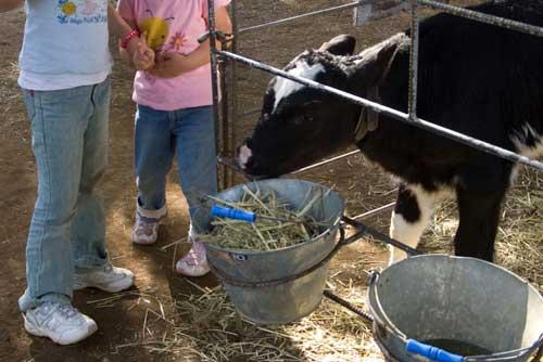 牛と戯れつつ?